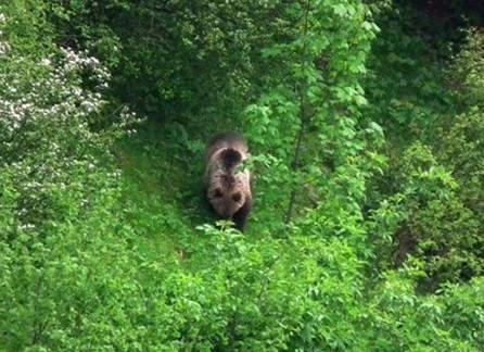 Die Chancen stehen gut, Bären in freier Wildbahn zu beobachten!