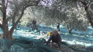 Hautnah bei der Olivenernte