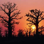 Baobab im Land der Bassari