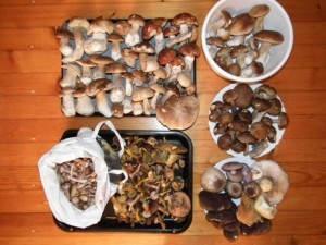 pilze sammeln saison