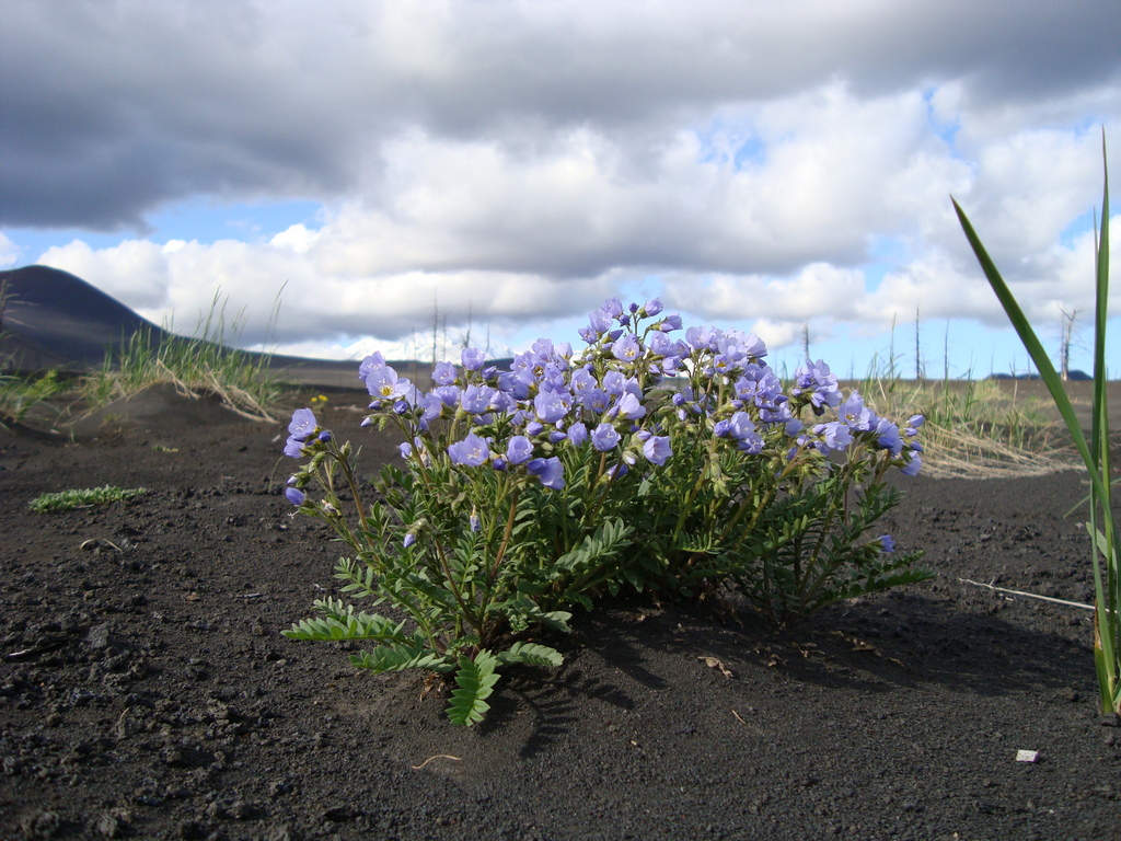 Lavaböden sind reich an Mineralsoffen - so blüht die Lavawüste wieder