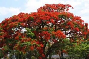 """Der """"Weihnachtsbaum"""" wie man ihn in Tansania zu dieser Jahreszeit kennt ..."""