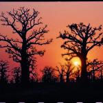 Baobabs sind typisch für den Senegal