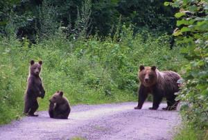 Viele Bärinnen mit ihren Jungen sind zu dieser Zeit schon unterwegs