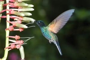 Kolibris sind in Mindo und im Cajas-Nationalpark zu sehen