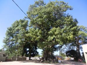 Riesige Baobabs sind in vielen Teilen des Landes zu finden
