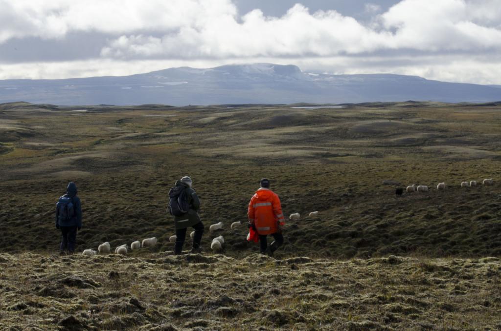Auf dem Weg ins Tal beim Schafabtrieb