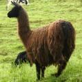 Bei der Wanderung am Vulkan Antisana sieht man sicher auch diesen Kamelienvertreter (Lama)