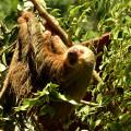 Costa Ricas Wahrzeichen: das Faultier