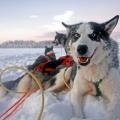 Schweden - Huskyabenteuer in Schwedisch-Lappland
