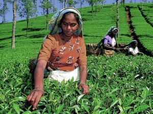 Srilankesische Teepflueckerinnen bei der Arbeit
