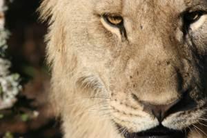 Viele Safari-Reisende erhoffen sich ein solches Motiv.