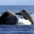 Wale vor der Küste der Azoren. Im Frühling ist die Artenvielfalt am Größten.