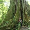 Brettwurzeln eines Amazonasriesen