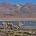 Vicunas und Flamingos im Reservat Avaroa