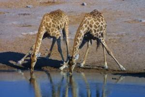 Giraffen an einem der zahlreichen Wasserlöcher im Etosha-Nationalpark