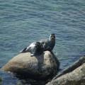 Baikal-Robben, eine einmalige Robbenart