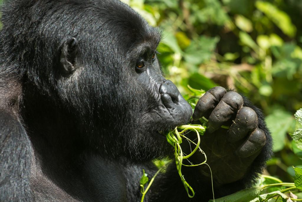 Uganda, Heimat der Berggorillas