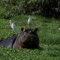 Die Salzwasser-Flusspferde im Bissagos sind weltweit einzigartig