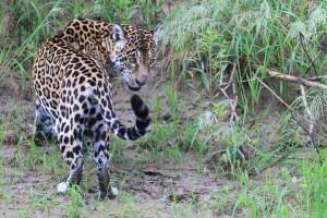 Auf erfolgreicher Jaguarpirsch im Amazonasgebiet Perus