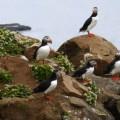 Papageientaucher auf der Insel Grímsey