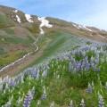 Abwechslungsreiche Wanderung bei Siglufjörður mit blühenden Lupinen, ...