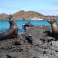 Seerobben auf Galapagos
