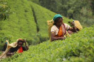 Wanderungen führen Sie oft an und durch die typischen Teeplantagen