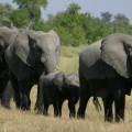 Ca. 50.000 Elefanten leben allein im Chobe-Nationalpark