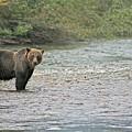 Grizzly am Flussufer – man beobachtet ihn am besten aus der Distanz ...