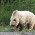 Ein sehr heller Grizzlybär, der Buckel hinter dem Kopf lässt sich gut erkennen