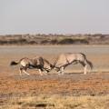 Spektakuläre Sichtung in der Zentralkalahari: Oryx-Antilopen im Clinch