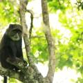 Mit etwas Glück sichten Sie die im Bergregenwald lebenden Affen.