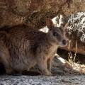 Ein Schwarzfuß-Felskänguru in den West MacDonnell Ranges –  Kleine Kolonien dieser meist nachaktiven Beutler finden sich oft am Larapinta Trail.