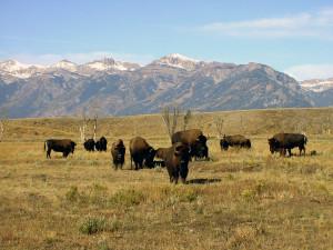Bisonherden zieren das Panorama der Gebirgskette im Grand Teton National Park, Wyoming