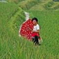 China - Reisterrassen von Ping An
