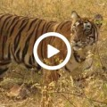 Tiger im Ranthambore-Nationalpark