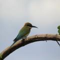 Grüner Bienenfresser im Udawalawe-Nationalpark
