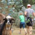 Diese Ziege war garantiert überrascht, uns Europäer durch den Wald laufen zu sehen.