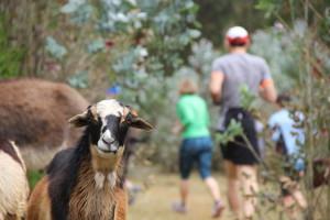 Diese Ziege war garantiert überrascht uns Europäer durch den Wald laufen zu sehen.