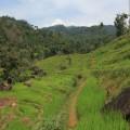 In den Knuckles-Bergen wandert man sowohl durch Reisfelder als auch durch Teeplantagen