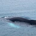Buckelwale tauchen oft in Küstennähe auf