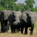 Im Chobe-NP leben über 60000 Elefanten