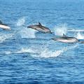 Wale und Delfine auf den Azoren beobachten