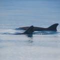 Delfine am Golfo Dulce auf der Osa-Halbinsel beobachten