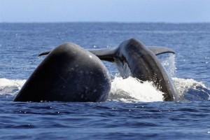 Die Azoren sind bei den Meeressäugern ein beliebter Rast- und Ruheplatz