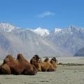 Baktrische Kamele in Hunder