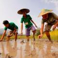 Reisbauer für einen Tag! Sie helfen mit auf dem Reisfeld