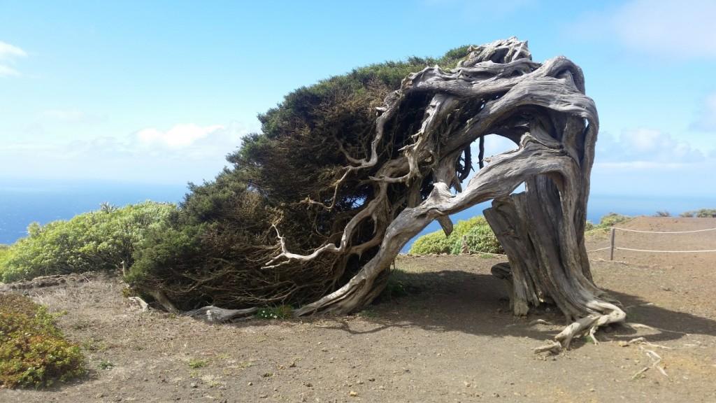 Windgepeitschter Wacholder auf El Hierro