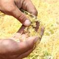 Unfruchtbares Getreide zwang Bauern zum stetigen Neukauf von Samen; es geht auch anders.